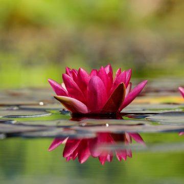 Las flores preferidas por los signos de agua